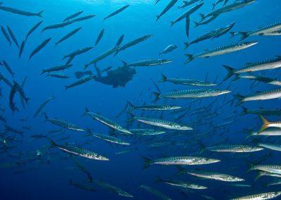 buceando con barracudas
